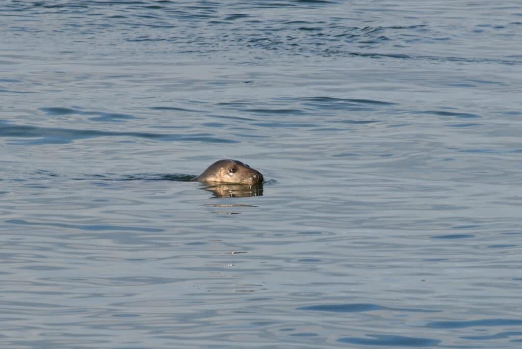 Zeehonden spotten bij Spuisluis bij Camping Brouwersdam